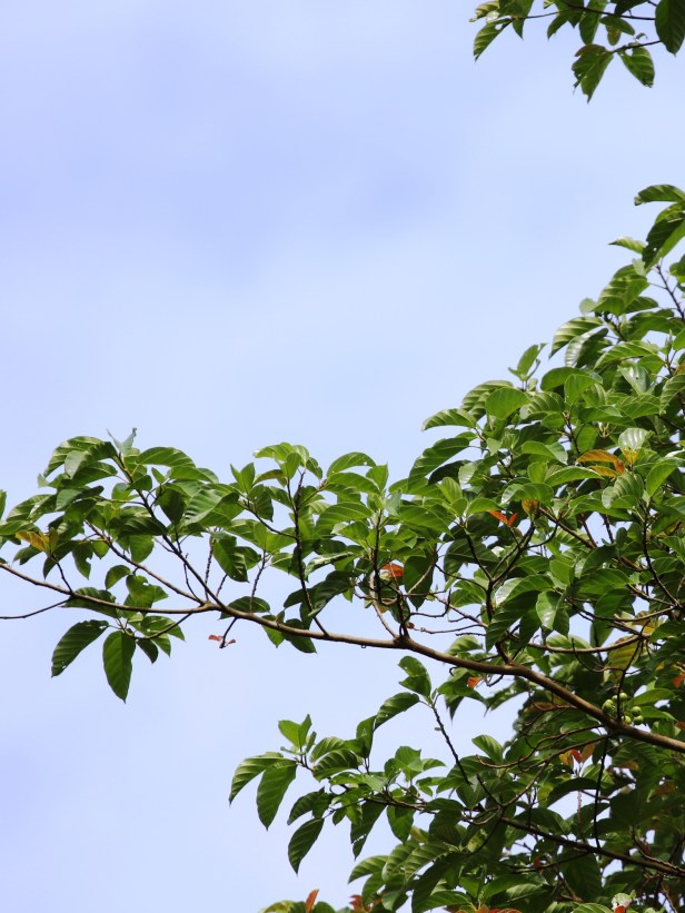 04 Ficus variegata 0C7A5402.JPG