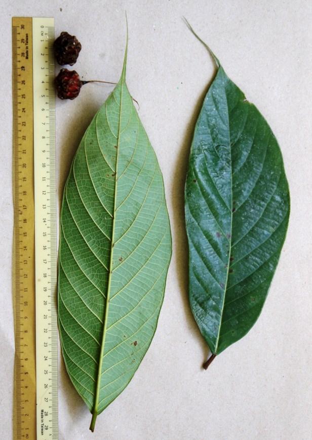 05 Ficus beccarii female 0C7A7091.JPG