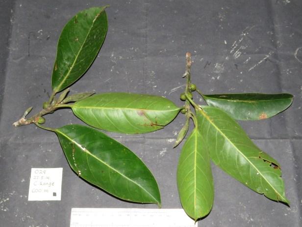 05 Ficus sundaica IMG_2265