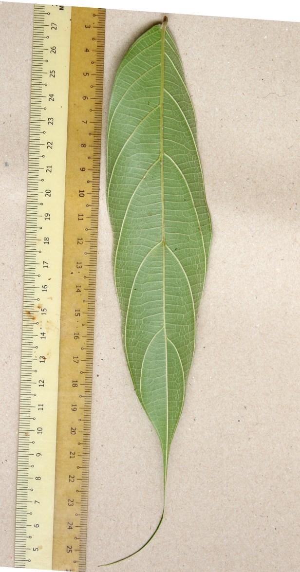 06 Ficus beccari 0C7A5597.JPG