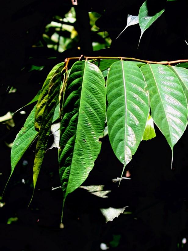 07 Ficus beccarii female leaves