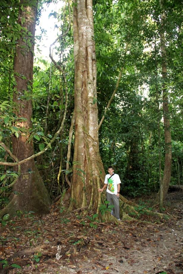2010 Ficus pisocarpa IMG_5875