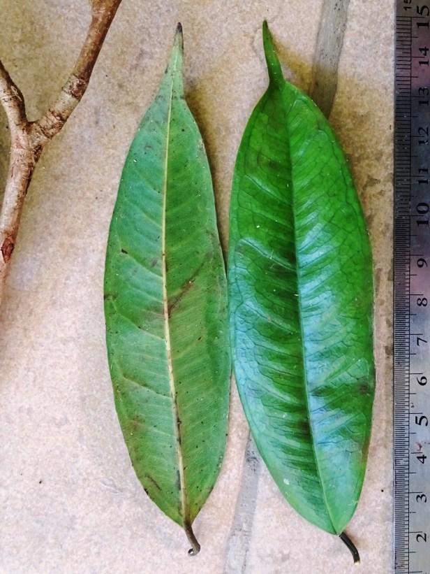 2019 Miyabi Ficus acamptophylla 6