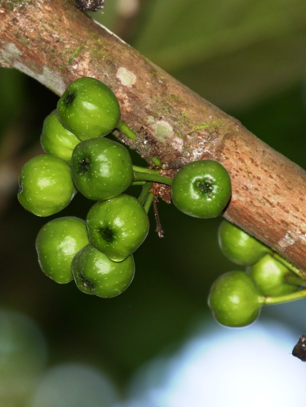 Ficus fistuloda 3P7A6392.JPG