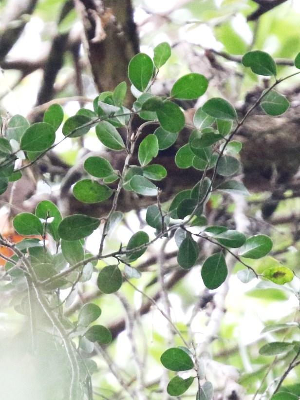 02 Ficus barberjovis 0C7A7568.JPG