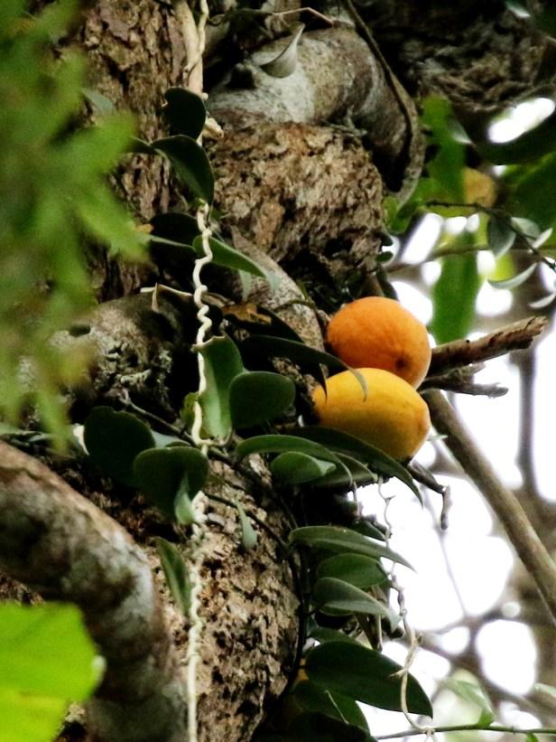 03 Ficus barberjovis 0C7A7578