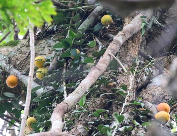 04 Ficus barberjovis 0C7A7591.JPG