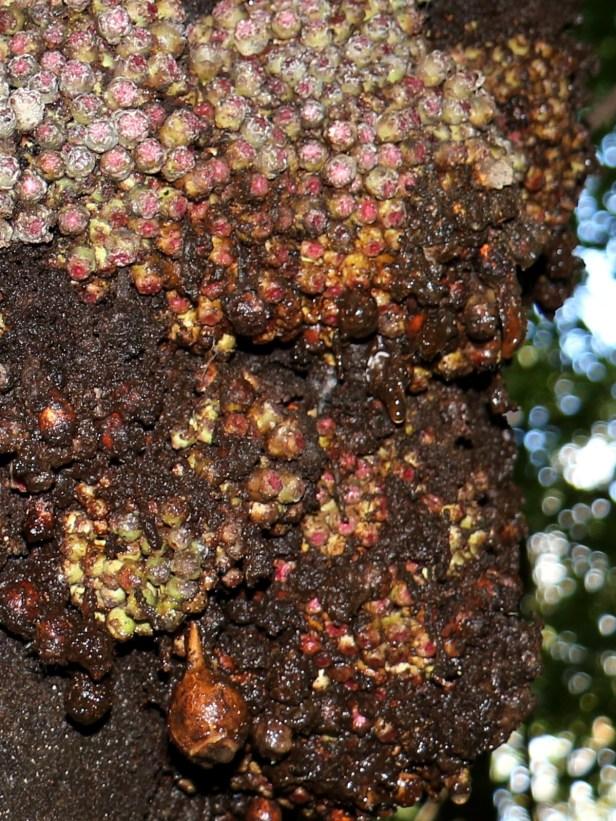 04 Ficus rosulata 3P7A8271 - Copy.JPG