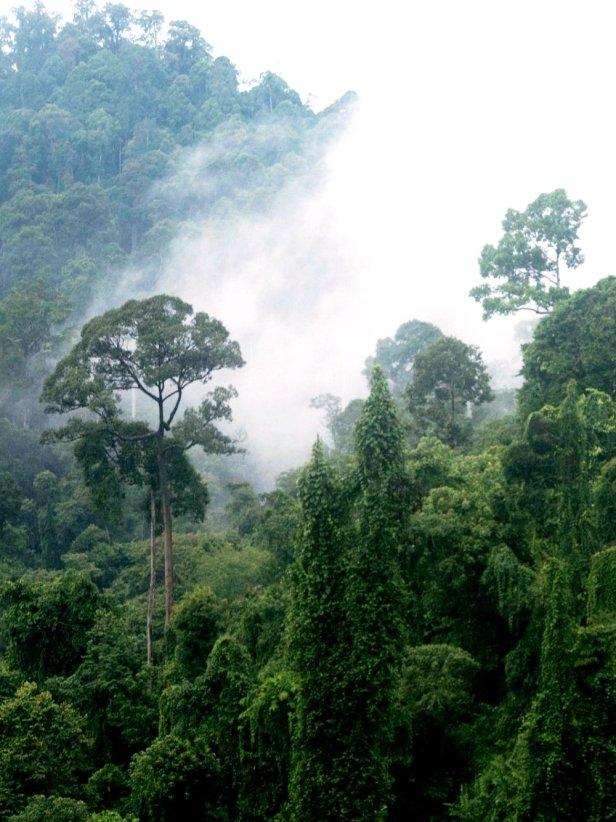08 Deramakot forest mist r.jpg