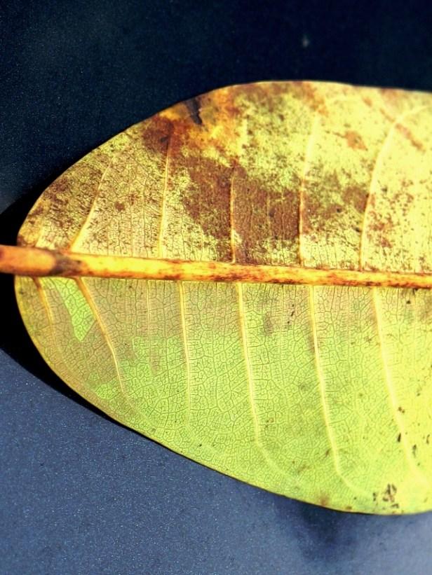 Ficus lawesii 02 u3Y3A1454