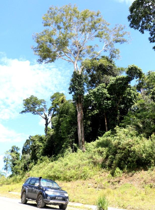 Ficus lawesii 04 Maliau 3Y3A2156