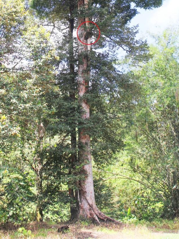 Ficus virens BOTTOM 0C7A5717 - .JPG