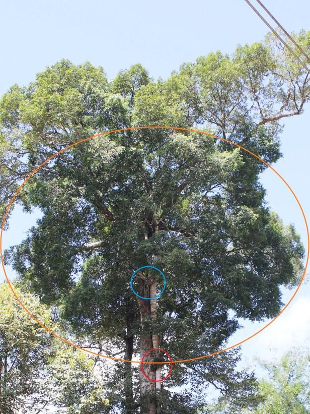 Ficus virens TOP 0C7A5717 -