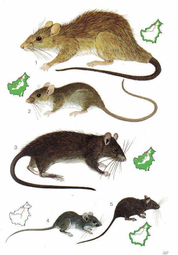 227-Invasive rats.jpg