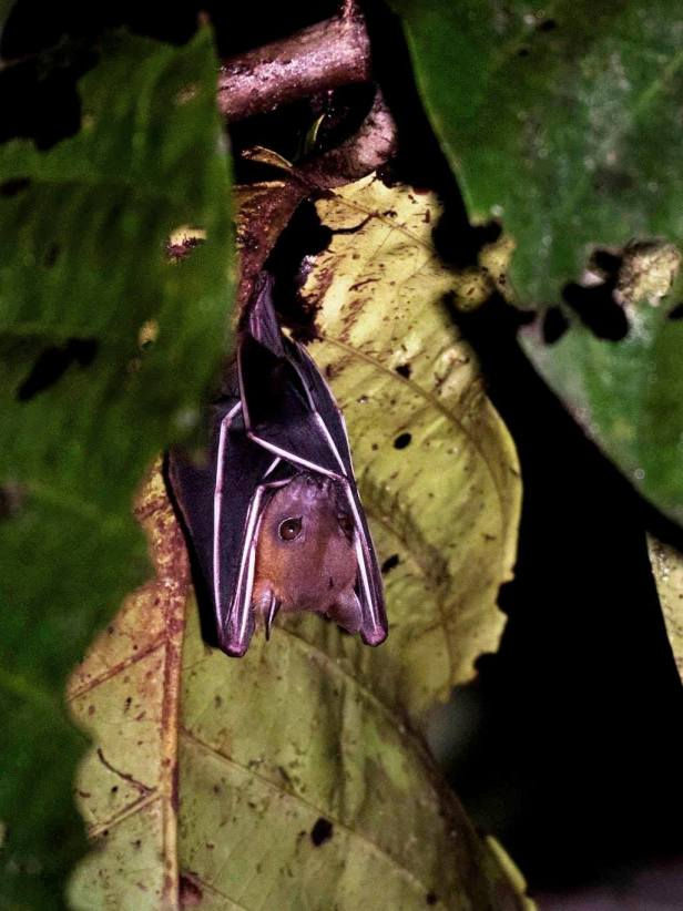 Cynopterus fruit bat Mike Gordon.jpg