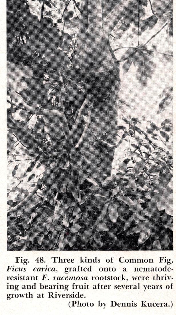 Ficus carica grafted F. racemosa WEB.jpg