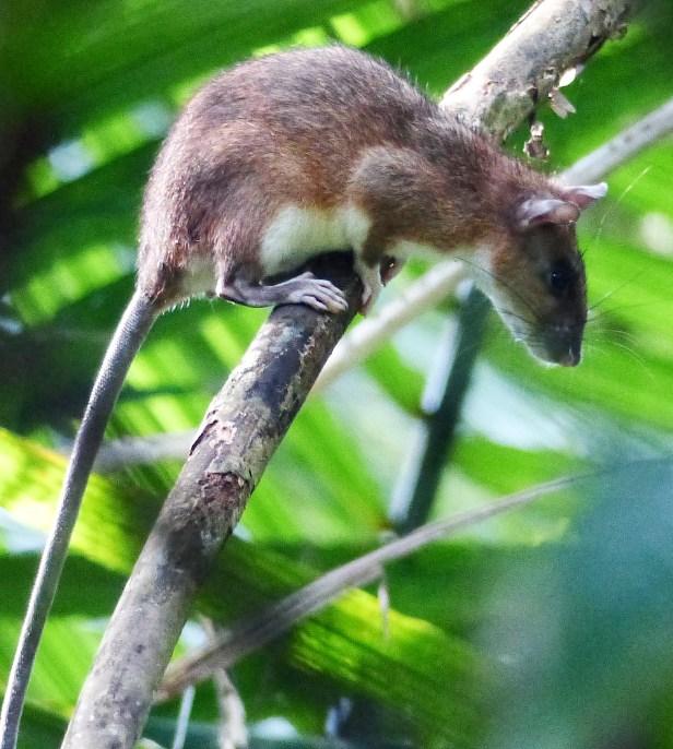 Sabah Giant Rat P1070869