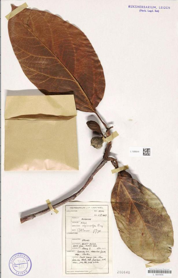 02 Ficus apiocarpa Seria, Belait - Copy.jpg