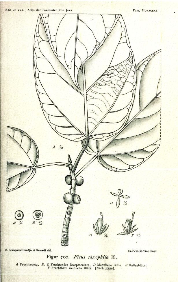 02 Ficus saxophila Java Atlas - Copy.jpg