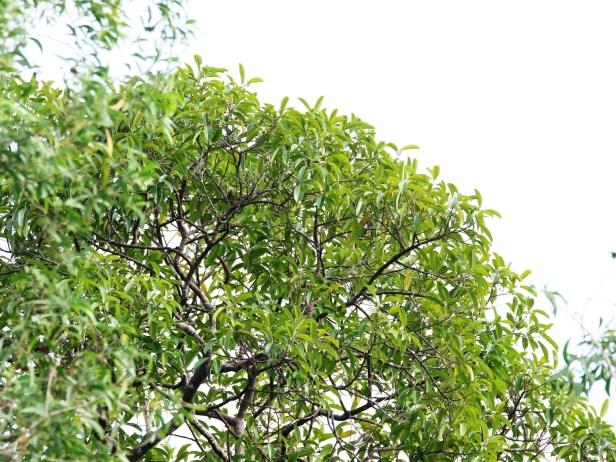 08 Ficus kerkhovenii IMG_0186.JPG