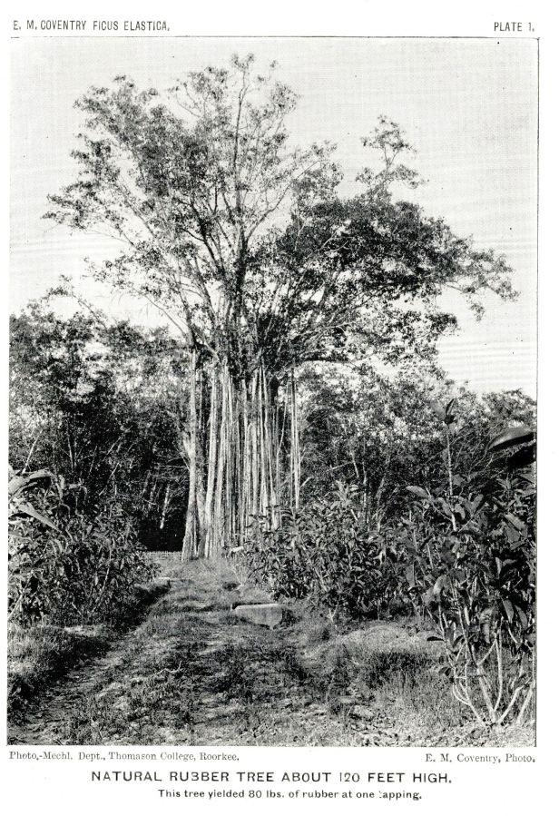 Ficus elastica v01.jpg