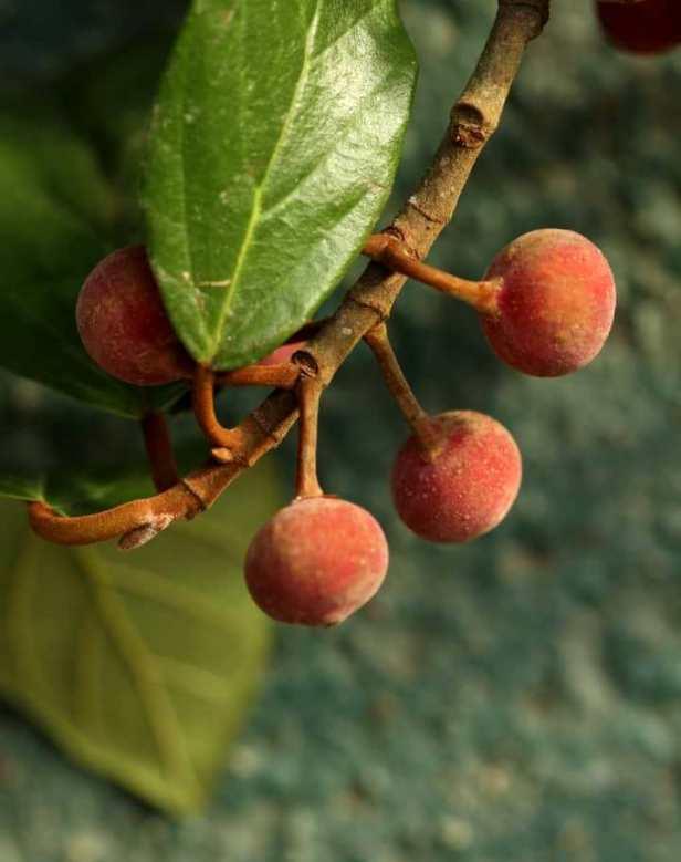 Ficus glandulifera IMG-20190625-WA0003.jpg