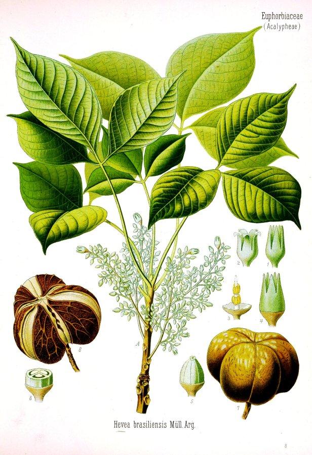 Hevea basiliensis Borneo 31470.jpg
