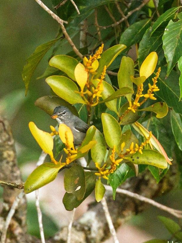 Spectacled Flowerpecker IMG_7081-5.jpg