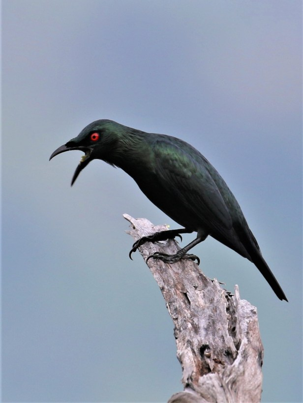 02 Glossy Starling Aplonis panayensis  t3P7A1358.JPG