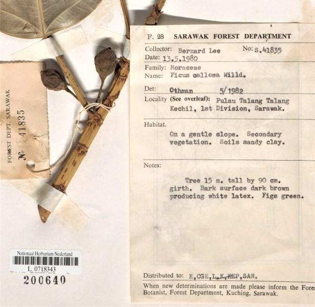 Ficus callosa Pulau Talang Talang Kechil Label-L.1605993.jpg