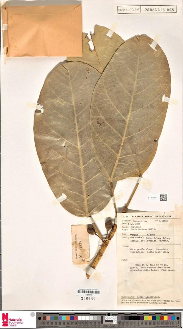 Ficus callosa Talang Talang enhanced1605993 WEB.jpg