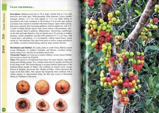 Ficus racemosa  Guy Broome.jpg