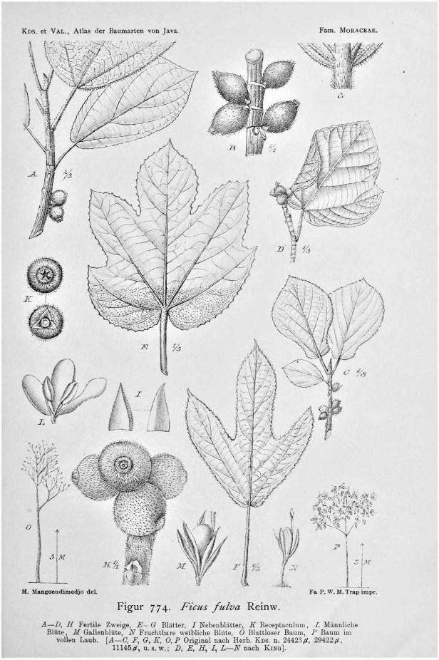 02 Ficus fulva Java Koorders, S.H., Valeton, T., Atlas der Baumarten von Java, vol. 4 (1918) .jpg