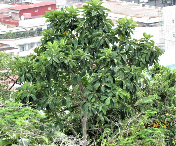 08 Ficus callosa Signal Hill IMG_3130