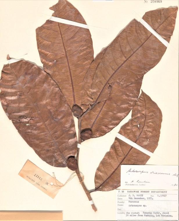 Artocarpus nitidus Kg Sadir Kuching 001327210-L.1591708.jpg