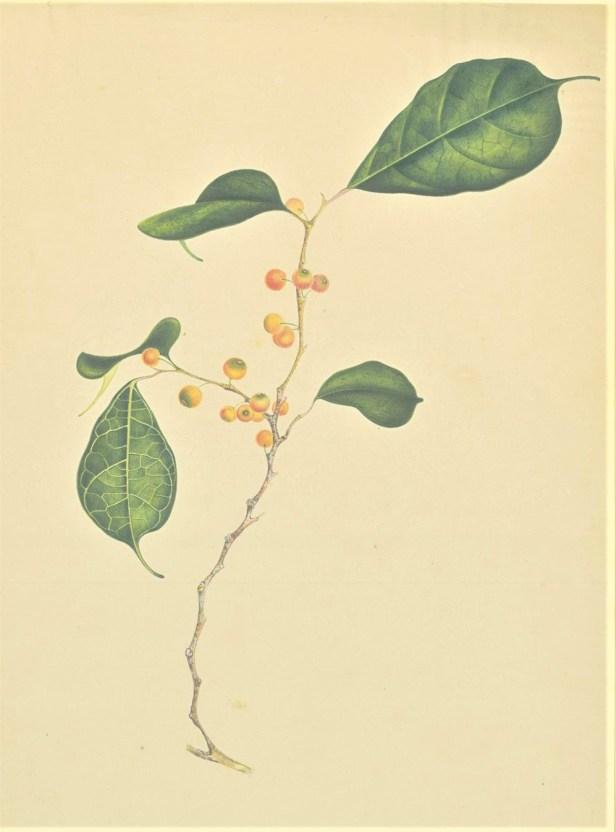 Ficus heteropleura Plant Illustrations.org naturalis 303613.jpg