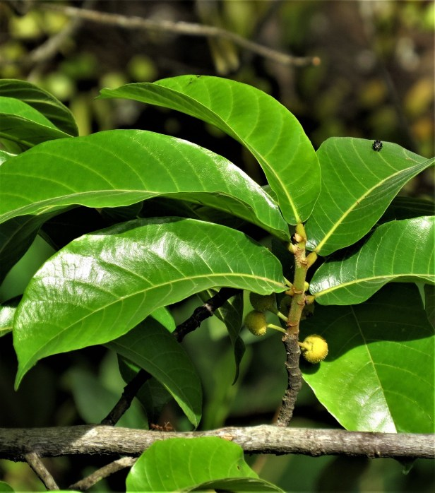 Ficus nitidus IMG_2585.JPG