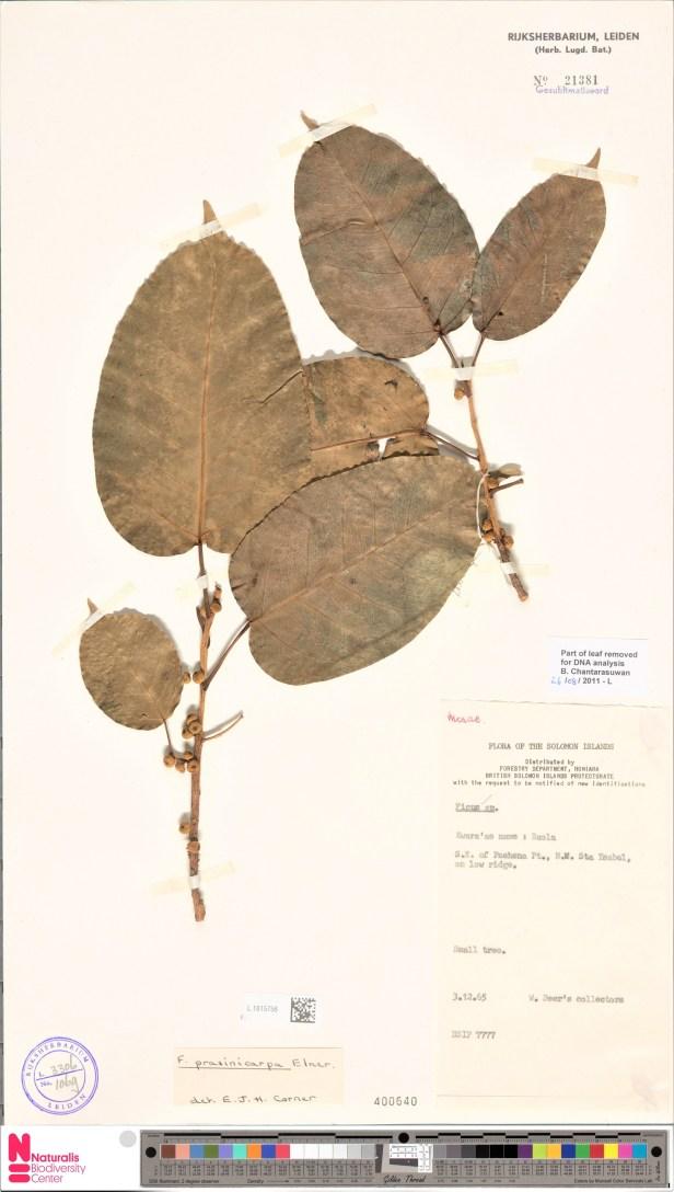 Ficus prasinicarpa Solomon Islands 001368053-L.1615756.jpg
