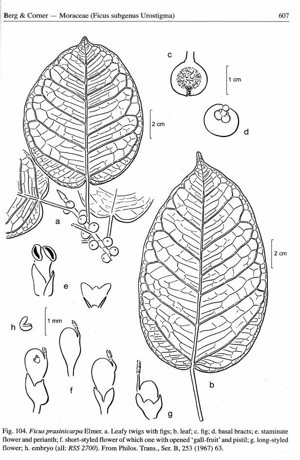 Ficus prasinicarpa illustration Berg (2005) .jpg