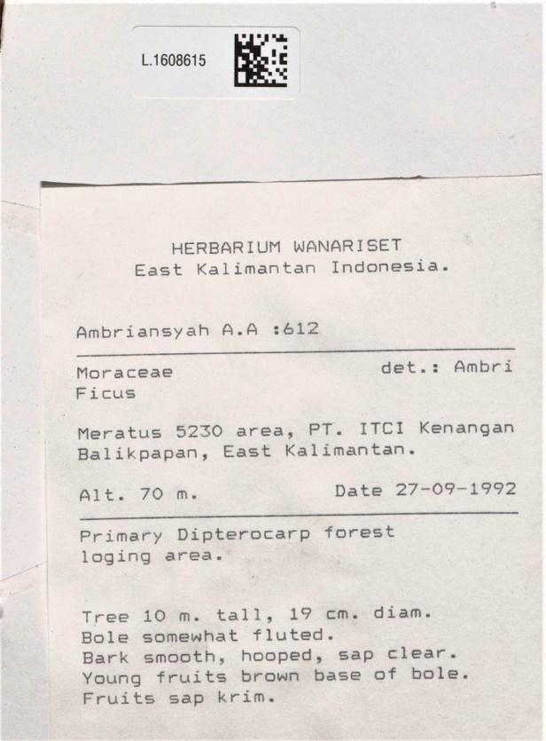 01 Leptogramma Meratus L.1608615 - Copy.jpg