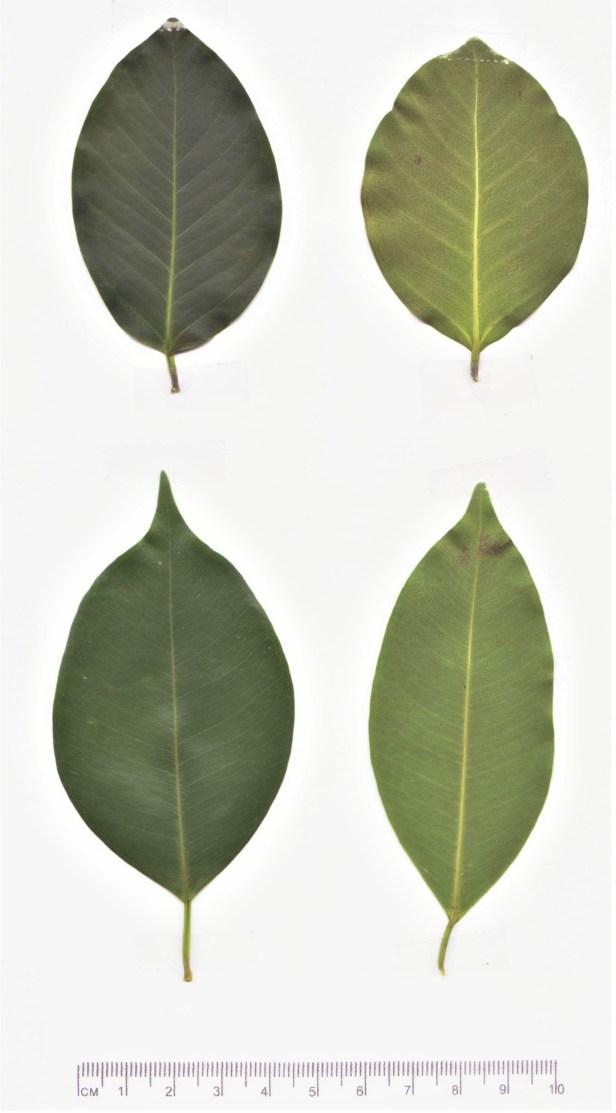 02 BOTH Leaf  ficus microcarpa and benjamina hi bright 001.jpg
