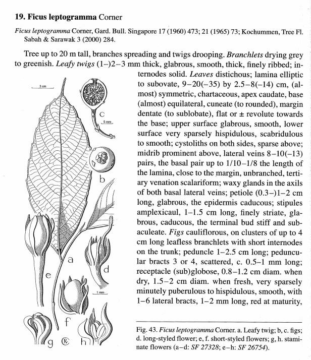 Berg (2005) Leptogramma 01 .jpg