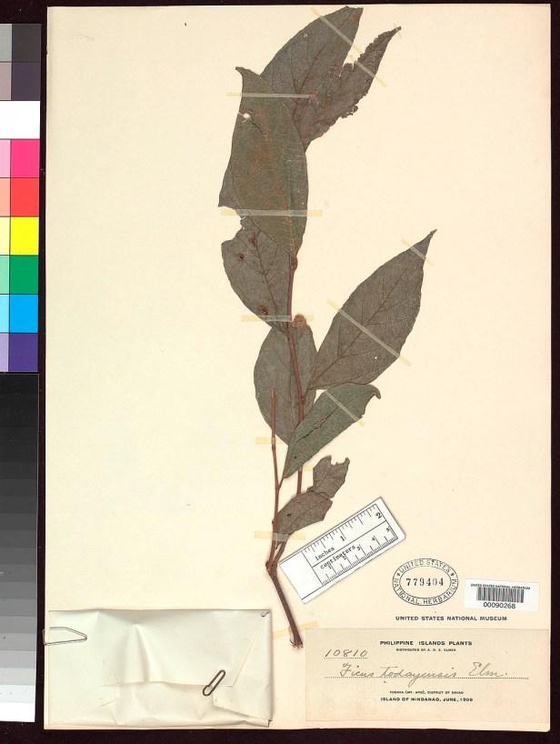 Ficus ampelas Philippines .jpg