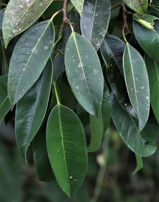 Ficus binnednijkii 3P7A4397.JPG