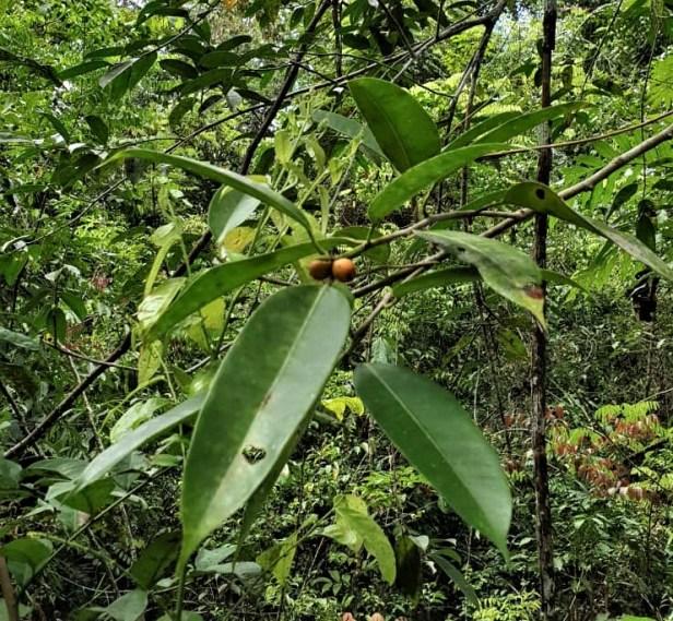 Ficus subcordata IMG-20191029-WA0000