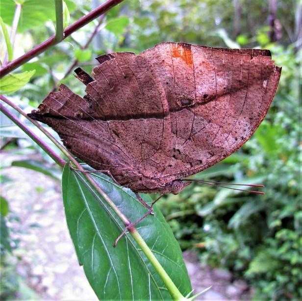 Kallima buxtonii Borneo leaf butterfly IMG_2869.JPG