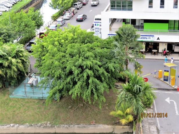 TREE benjamina .JPG