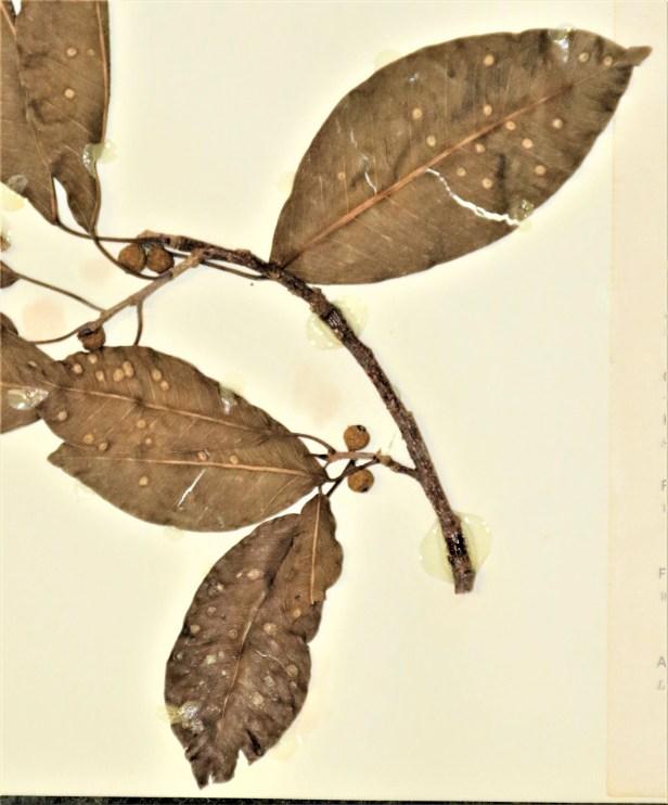 03 Ficus concinna IMG_0112.JPG