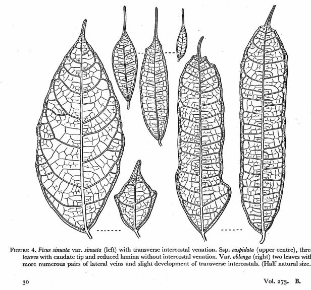 Ficus sinuata Corner drawing.jpg