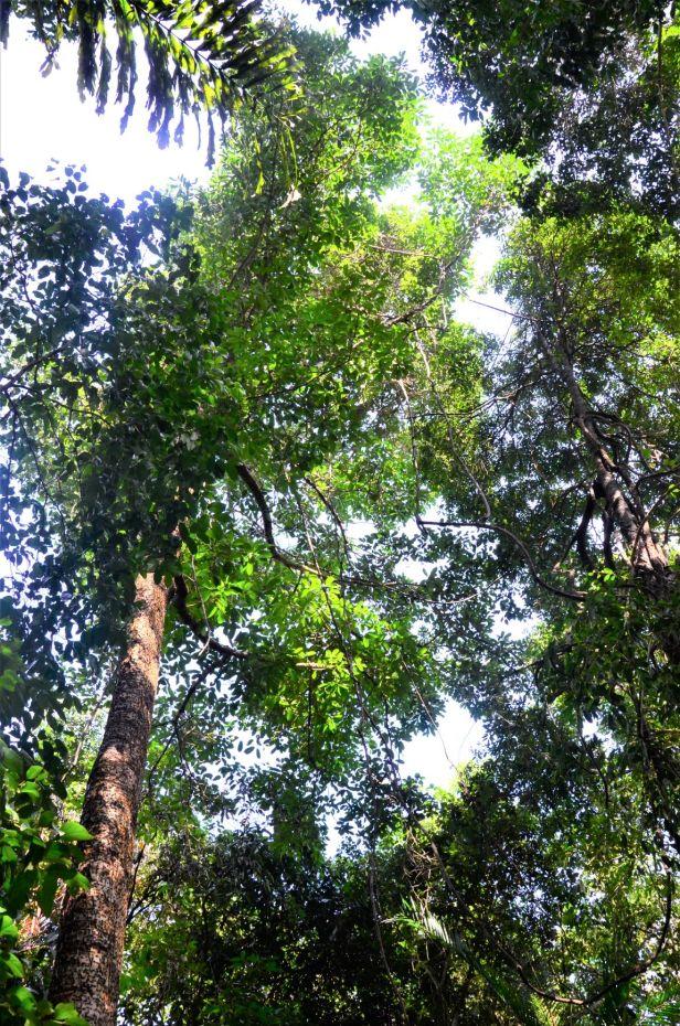 01 Ficus dubia Pulau Gaya, Base Camp●20190328★ Shuai LIAO-LSL_8255